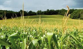 El NEA-NOA pueden crecer hasta 15 millones de hectáreas sembradas de maíz