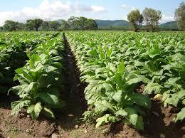 Incertidumbre y preocupación en el sector tabacalero ante el tarifazo en gas y luz