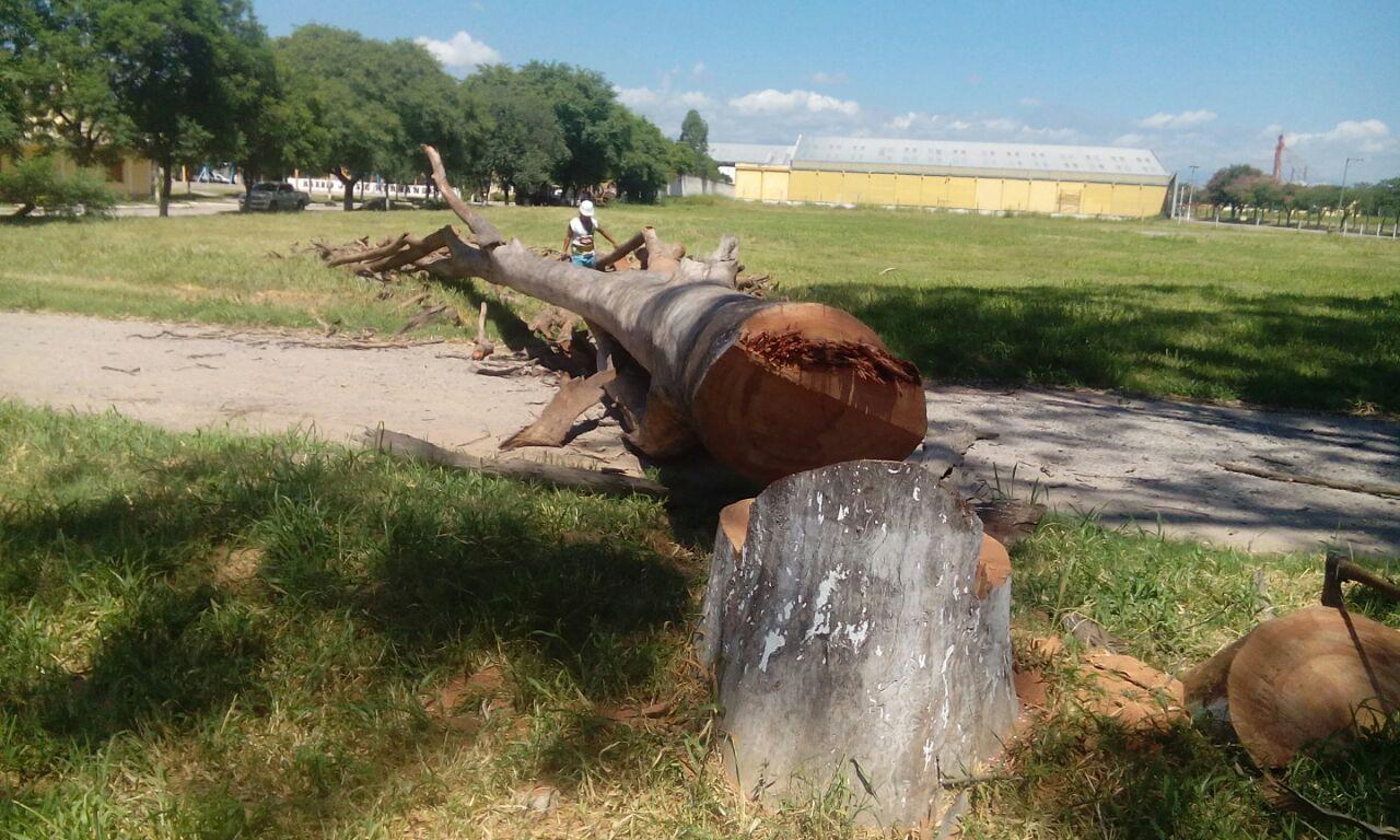 Municipalidad de Perico comenzó a retirar de la ciudad árboles grandes