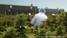 La regulación de la marihuana en Uruguay es «un paso responsable»