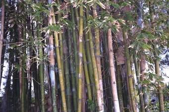 Proponen remplazar por bambú los cultivos de tabaco
