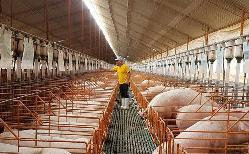 China financiaría en el NEA-NOA criaderos y frigoríficos de cerdos y los productores locales pagarían con carne de cerdo