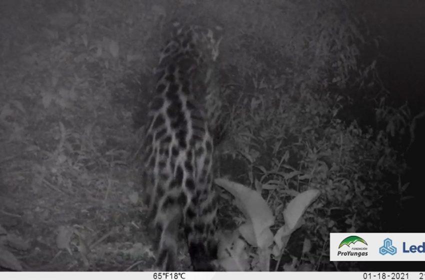 Avistan un yaguareté en la reserva natural de Ledesma